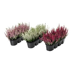 VÄXTLIG potted plants for flower box, assorted colours, heather Max. height, plants: 45 cm Length: 50 cm Width: 18 cm