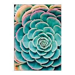 "BILD poster, Succulent leaves Width: 19 ¾ "" Height: 27 ½ "" Width: 50 cm Height: 70 cm"