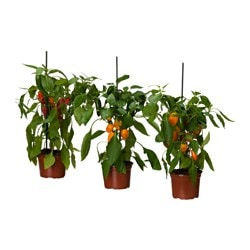 CAPSICUM ANNUUM potted plant, sweet pepper assorted