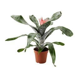 "AECHMEA potted plant, Urn plant Diameter of plant pot: 6 "" Height of plant: 16 "" Diameter of plant pot: 15 cm Height of plant: 40.5 cm"