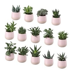 "SUCCULENT plant with pot, pink Diameter of plant pot: 2 ¼ "" Height of plant: 3 ½ "" Diameter of plant pot: 6 cm Height of plant: 9 cm"
