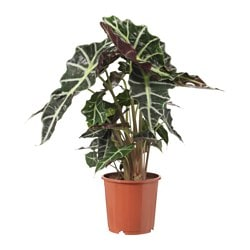 "ALOCASIA AMAZONICA potted plant Diameter of plant pot: 6 "" Height of plant: 14 "" Diameter of plant pot: 15 cm Height of plant: 35.5 cm"