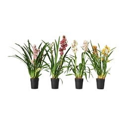 CYMBIDIUM plante en pot, orchidée coloris assortis