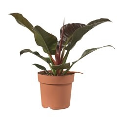 "PHILODENDRON potted plant Diameter of plant pot: 9 ½ "" Height of plant: 19 ¾ "" Diameter of plant pot: 24 cm Height of plant: 50 cm"