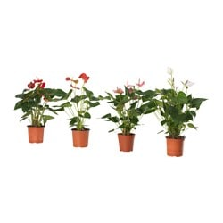ANTHURIUM potted plant, Flamingo plant, assorted