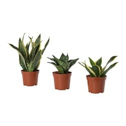 SANSEVIERIA HAHNII potted plant, assorted