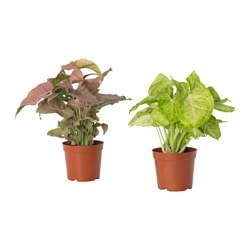 SYNGONIUM potted plant, Goosefoot plant assorted