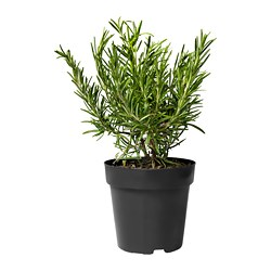ROSMARINUS OFFICINALIS potted plant, Rosemary