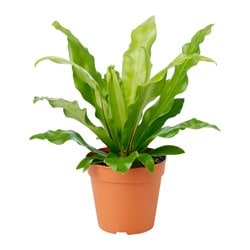 ASPLENIUM potted plant, Bird's Nest Fern Diameter of plant pot: 12 cm Height of plant: 25 cm