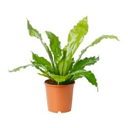 ASPLENIUM potted plant, Bird's Nest Fern Diameter of plant pot: 19 cm Height of plant: 50 cm