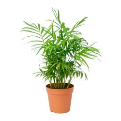 CHAMAEDOREA ELEGANS potted plant, Parlour palm Diameter of plant pot: 12 cm Height of plant: 35 cm