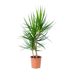 DRACAENA MARGINATA potted plant Diameter of plant pot: 19 cm Height of plant: 90 cm