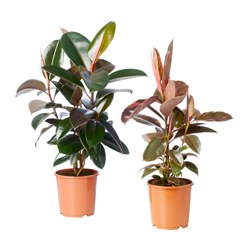 FICUS ELASTICA potted plant, assorted