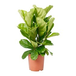 FICUS LYRATA potted plant, fiddle-leaf fig Diameter of plant pot: 19 cm Height of plant: 50 cm