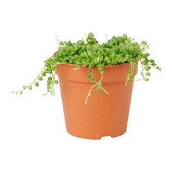SENECIO potted plant, String of beads