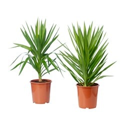 YUCCA ELEPHANTIPES potted plant, assorted colours