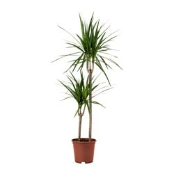 DRACAENA MARGINATA potted plant, Dragon tree 3-stem