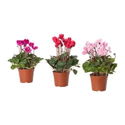 CYCLAMEN potted plant, Alpine violet assorted colours