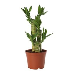 DRACAENA potted plant, Lotus Bamboo