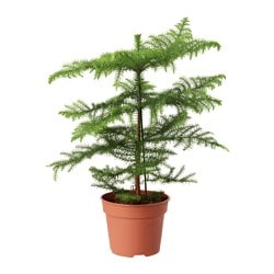 ARAUCARIA potted plant, Norfolk island pine