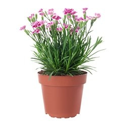 DIANTHUS plante, nellike pink