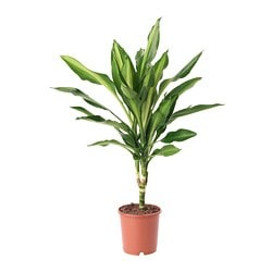 DRACAENA MASSANGEANA potted plant Diameter of plant pot: 12 cm Height of plant: 30 cm