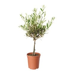 OLEA EUROPAEA potted plant, Olive tree Diameter of plant pot: 17 cm Height of plant: 60 cm