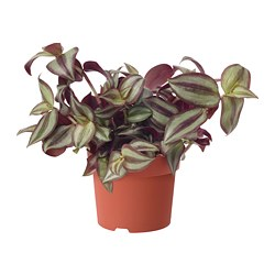 "TRADESCANTIA potted plant, assorted species plants Diameter of plant pot: 5 "" Height of plant: 8 "" Diameter of plant pot: 12.5 cm Height of plant: 20.5 cm"