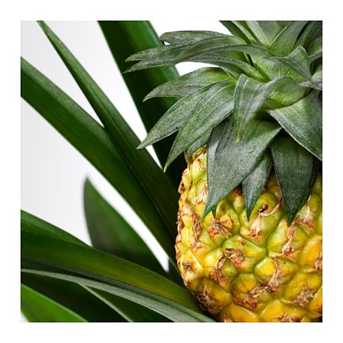 ANANAS Potted,