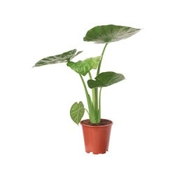 "ALOCASIA REGAL SHIELD potted plant Diameter of plant pot: 8 "" Height of plant: 28 "" Diameter of plant pot: 20.5 cm Height of plant: 71 cm"