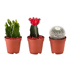 CACTACEAE potted plant, assorted