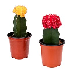 GYMNOCALYCIUM potted plant, grafted cactus, assorted