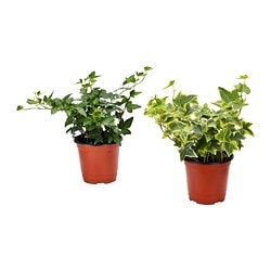 HEDERA HELIX potted plant, Ivy, assorted