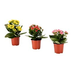 KALANCHOE potted plant, Flaming Katy assorted