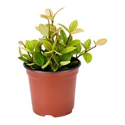 PEPEROMIA potted plant, assorted