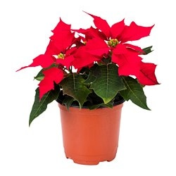 POINSETTIA potted plant, Poinsettia red Diameter of plant pot: 10 cm Height of plant: 17 cm
