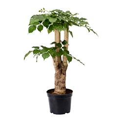 RADERMACHERA potted plant, China doll