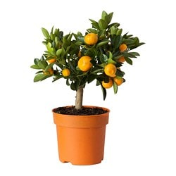 CITRUS potted plant, Calamondin
