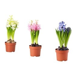 HYACINTHUS potted plant, 3 bulbs, Hyacinth assorted colours