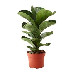 FICUS LYRATA BAMBINO potted plant, fiddle-leaf fig