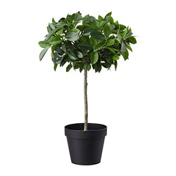 FEJKA artificial potted plant, indoor/outdoor, Weeping fig stem