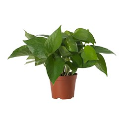 EPIPREMNUM potted plant, Golden Pothos