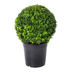 BUXUS SEMPERVIRENS potted plant, Box, ball