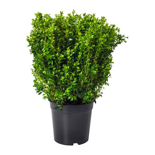 BUXUS SEMPERVIRENS Potted, boxwood, krūms