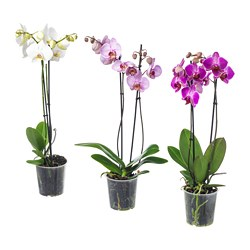 PHALAENOPSIS plante en pot, orchidée, 2 tiges