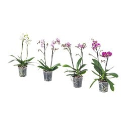 PHALAENOPSIS plante en pot, orchidée, multiple 2 tiges