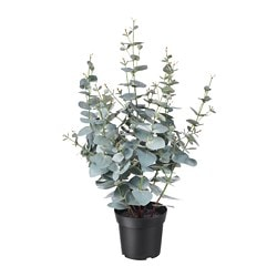 FEJKA artificial potted plant, indoor/outdoor eucalyptus