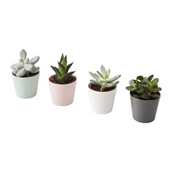 SUCCULENT plant with pot, assorted species plants