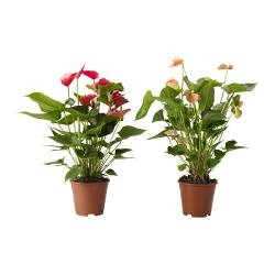 ANTHURIUM potted plant, Flamingo plant assorted colors