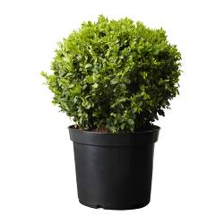 BUXUS SEMPERVIRENS potted plant, ball, Box Diameter of plant pot: 24 cm Height of plant: 40 cm